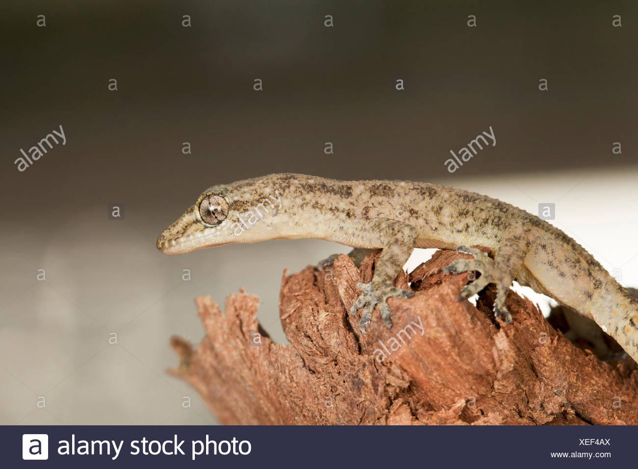 LEAF TOED GECKO, Hemidactylus parvimaculatus, Bhoramdeo Wildlife Sanctuary, Chhattisgarh. Medium sized gecko - Stock Image