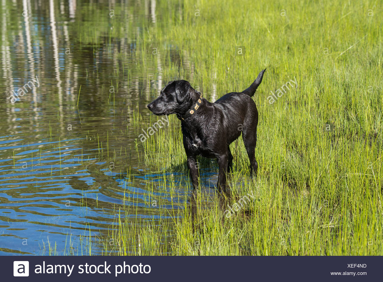 A black labrador dog on the edge of standing water. - Stock Image
