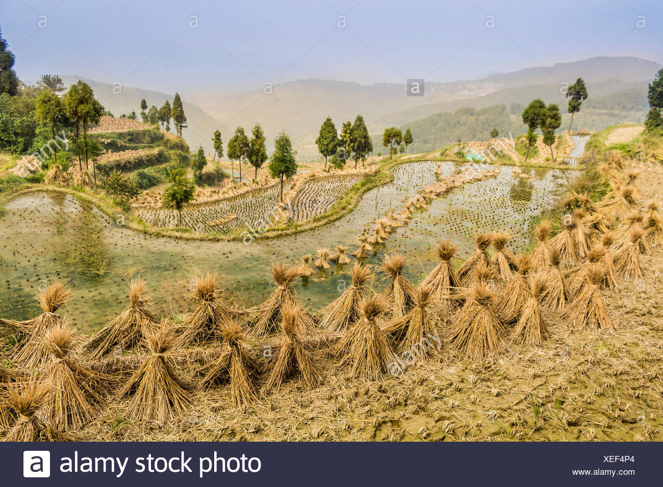 Dried rice bundles waiting to be harvested on paddy fields in Yongjia County. - Stock Image
