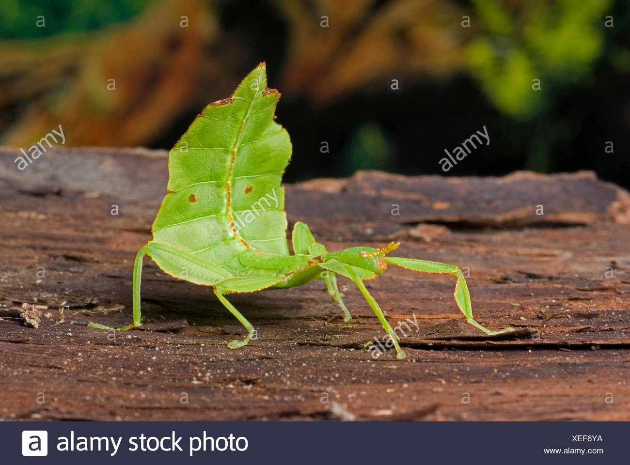 Leaf-Insect, leaf insect (Phyllium siccifolium), on bark - Stock Image