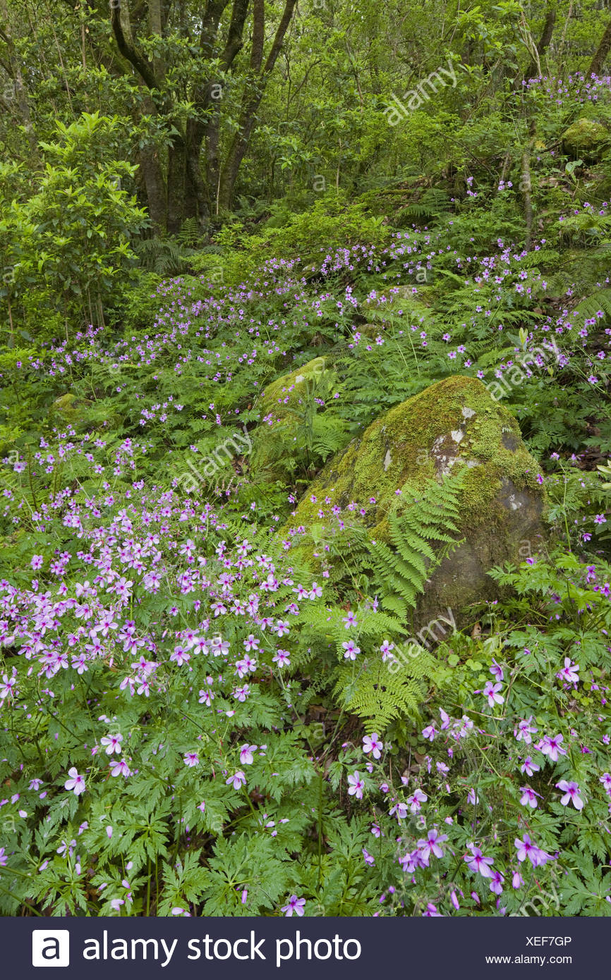 Forest flowers and moss-overcast stone with Caldeirao Verde, Queimados, Madeira, Portugal, - Stock Image