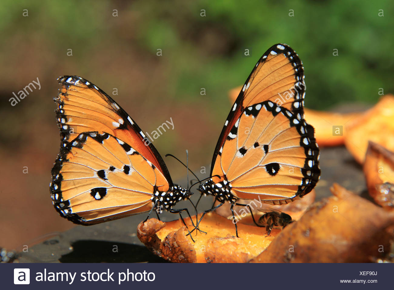 two African Monarchs at blossom / Danaus chrysippus - Stock Image
