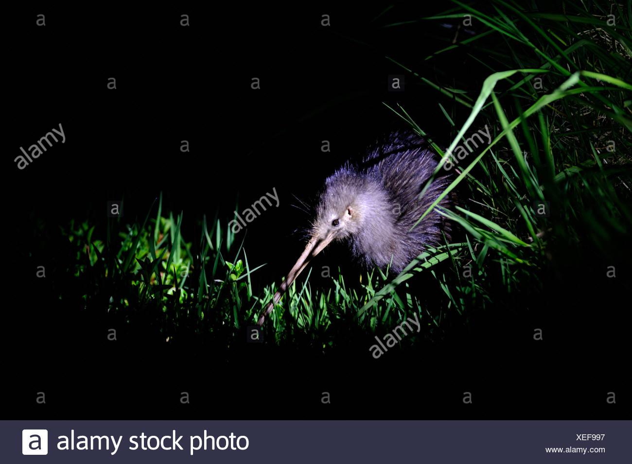 Northern Brown Kiwi, Apteryx mantelli Kerikeri North Island New Zealand - Stock Image