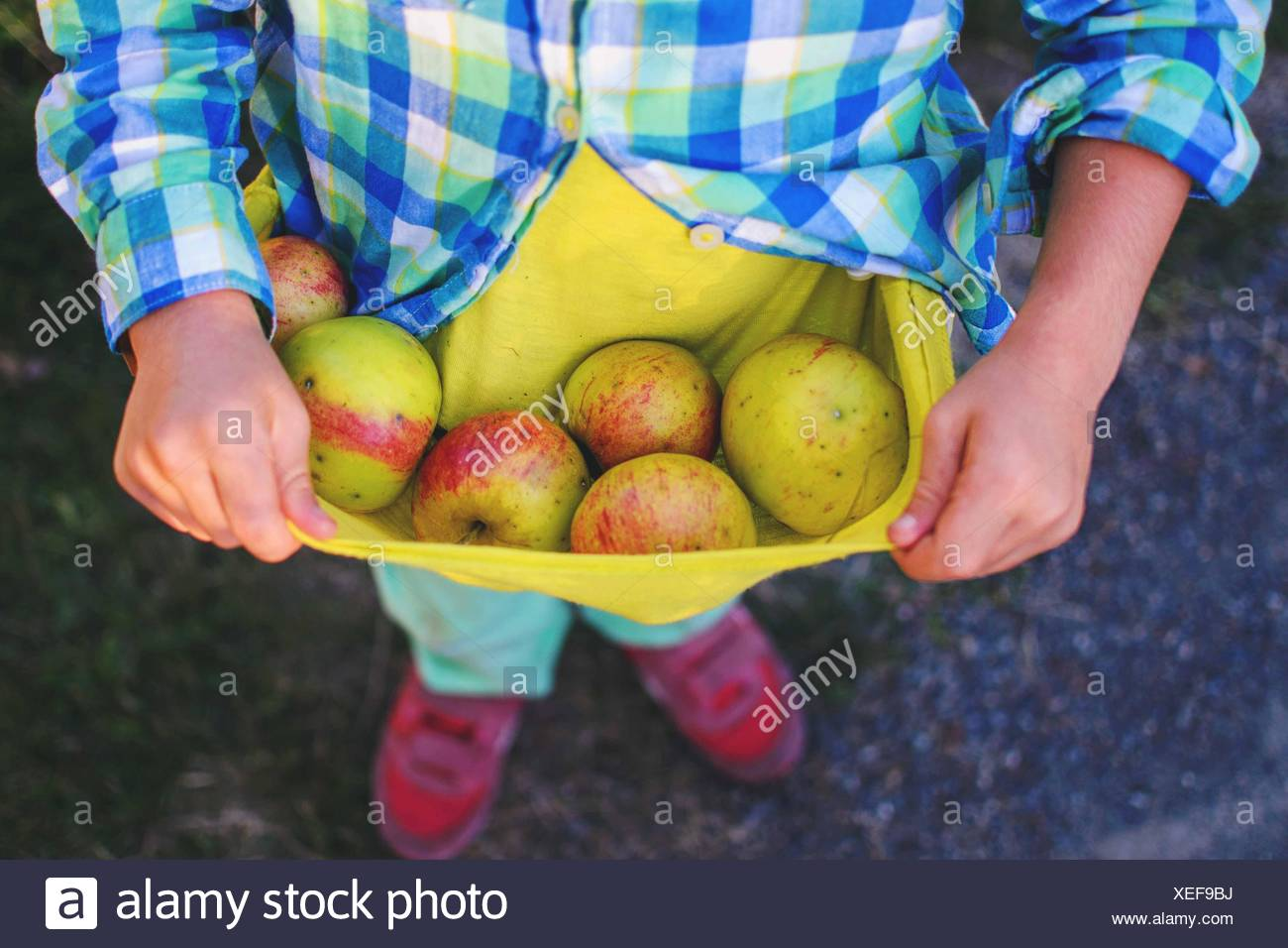 Boy holding freshly picked apples in his t-shirt - Stock Image