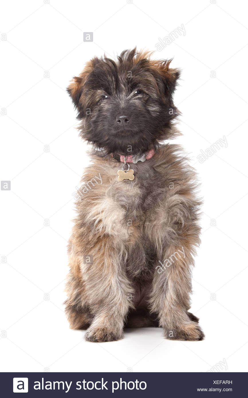 Pyrenean Shepherd puppy in front of a white background - Stock Image
