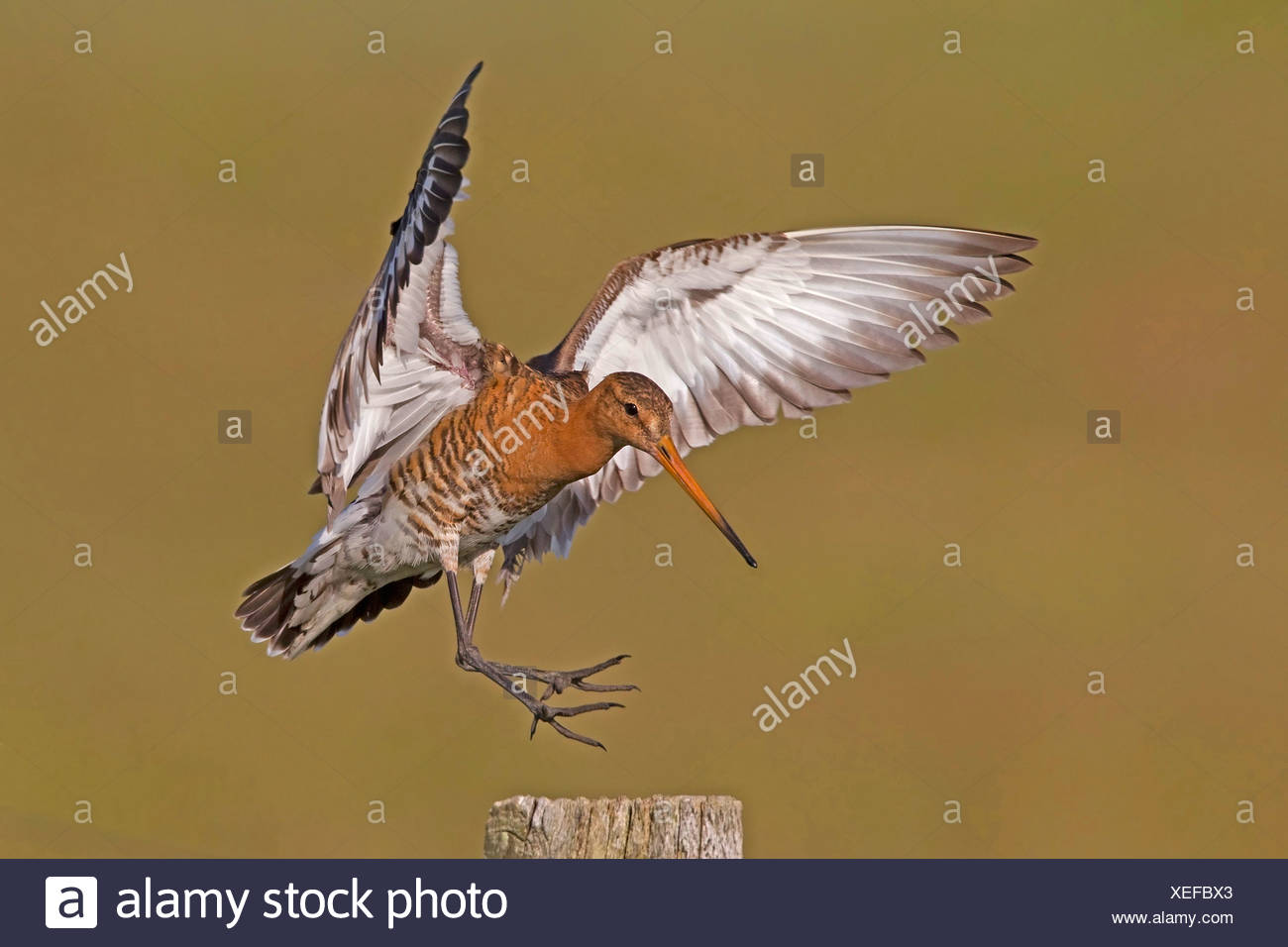 black-tailed godwit (Limosa limosa), landing on a pasture post, Netherlands - Stock Image
