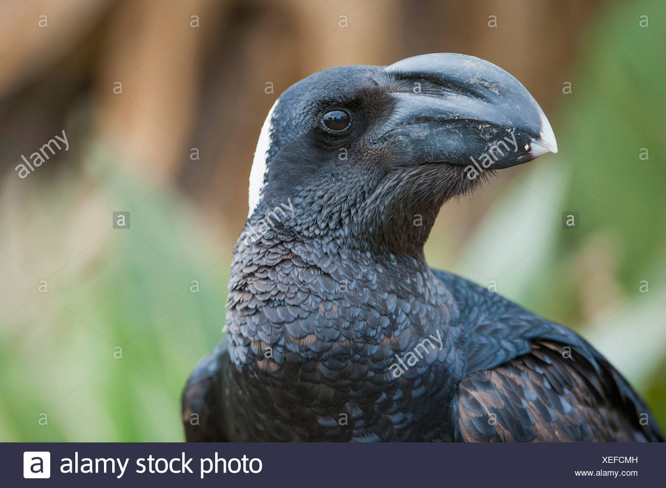 Thick-billed Raven - Stock Image