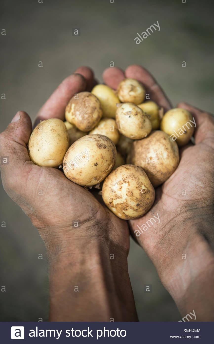 Sweden, Uppland, Herrang, Norrtalje, Man holding handful of potatoes - Stock Image