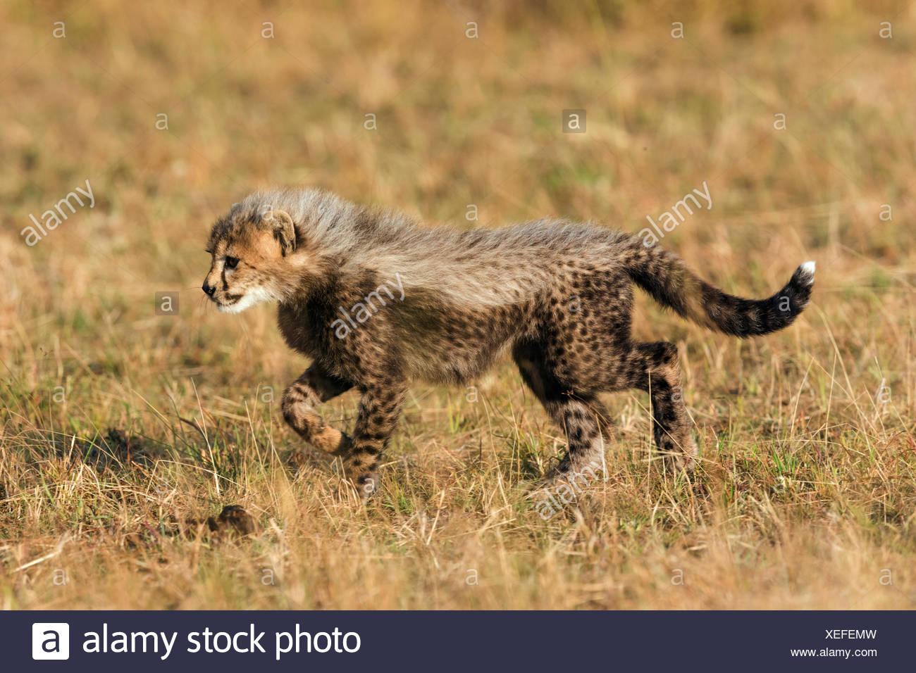 Cheetah (Acinonyx jubatus), six-week-old cheetah cub exploring its surroundings, Maasai Mara National Reserve, Narok County - Stock Image