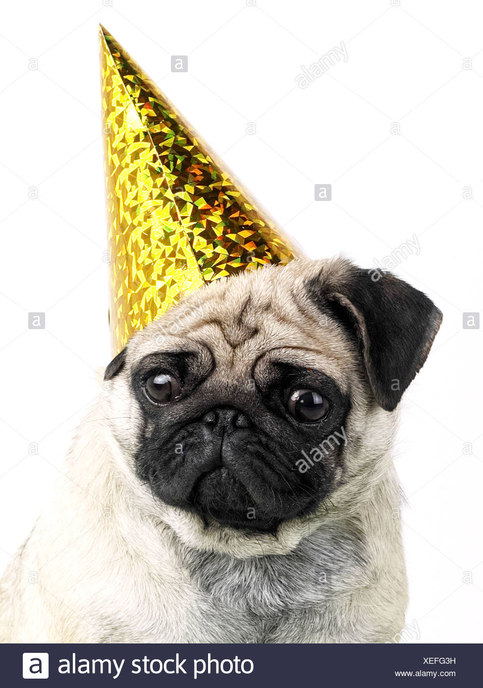 A pug wearing a party hat, being a party animal but looking unhappy. - Stock Image