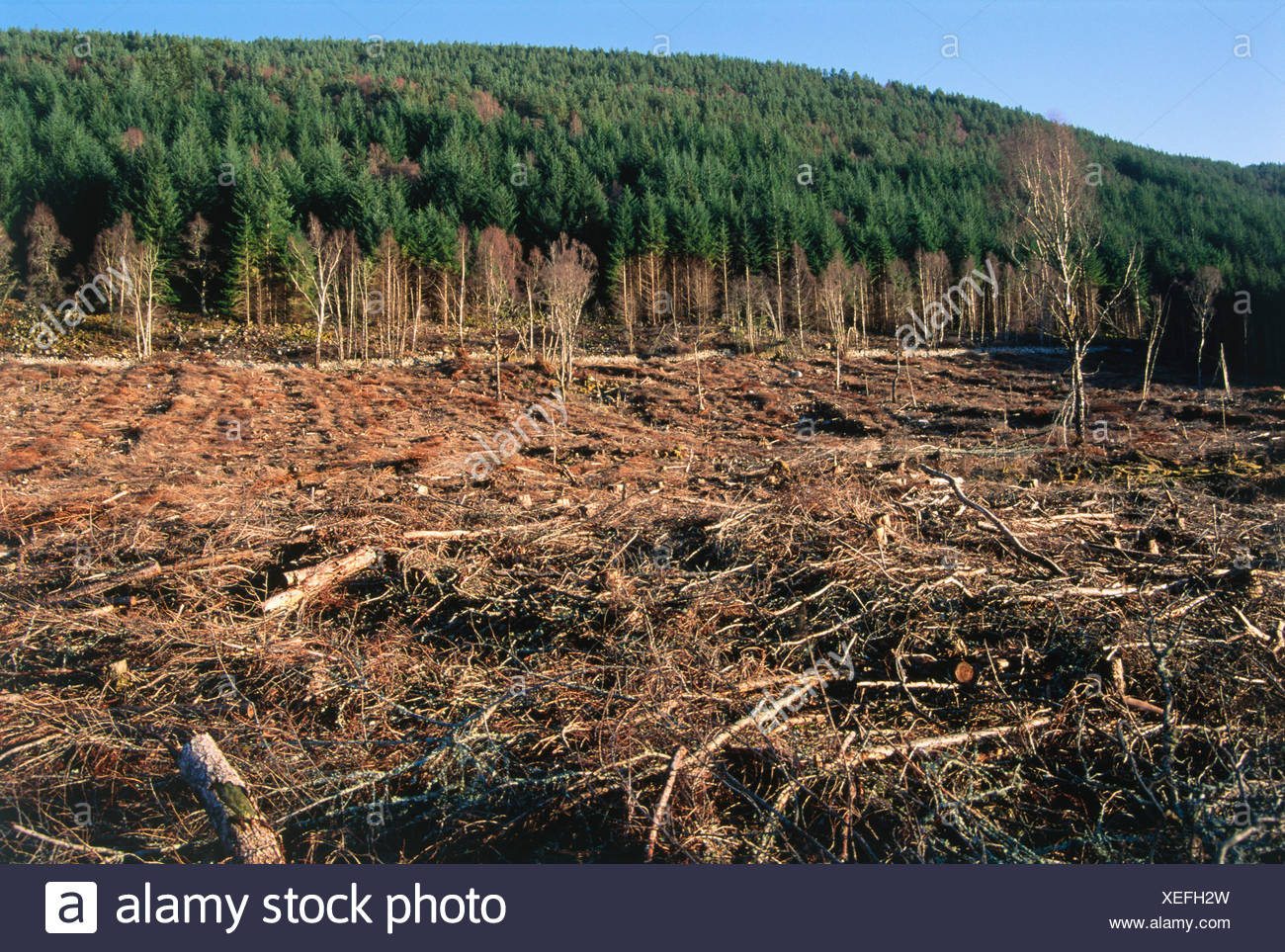 Harvesting Conifers - Stock Image
