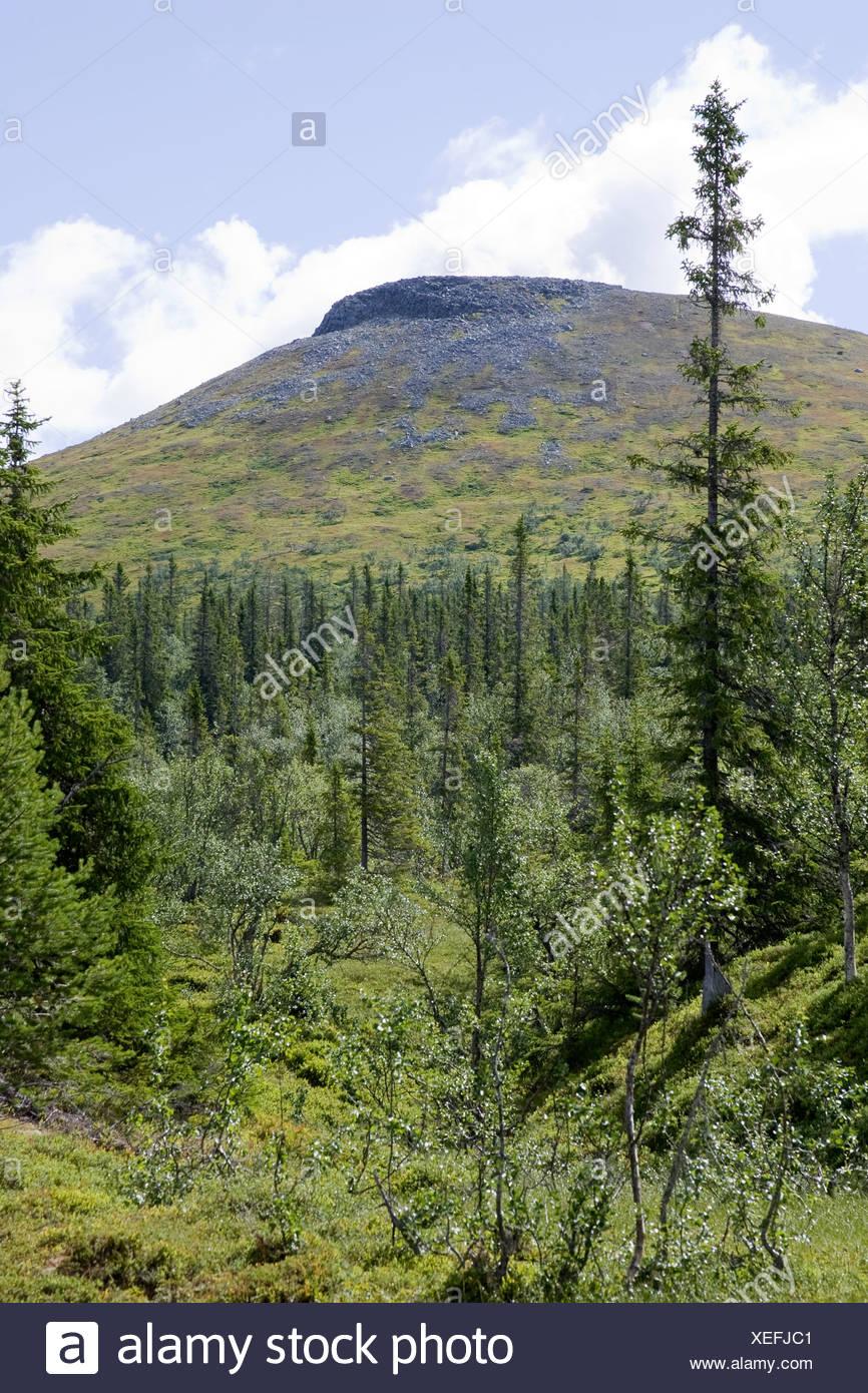Scandinavia, Sweden, Harjedalen, View of coniferous forest - Stock Image