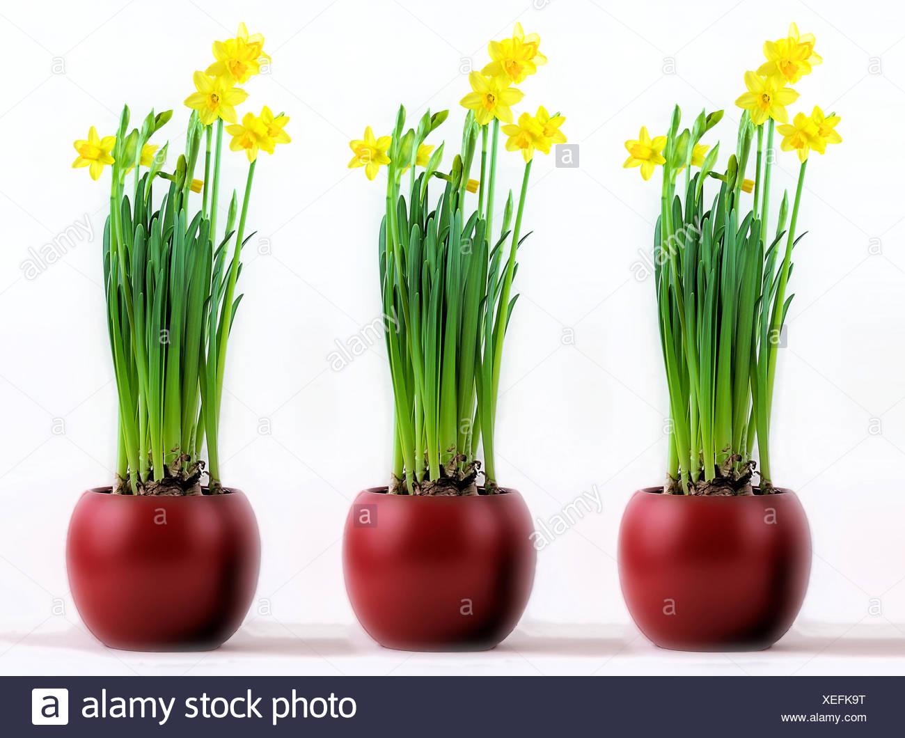 Drei Rote Töpfe Mit Blühenden Gelben Narzissen, Three Red Pots With  Flourishing Yellow Daffodils