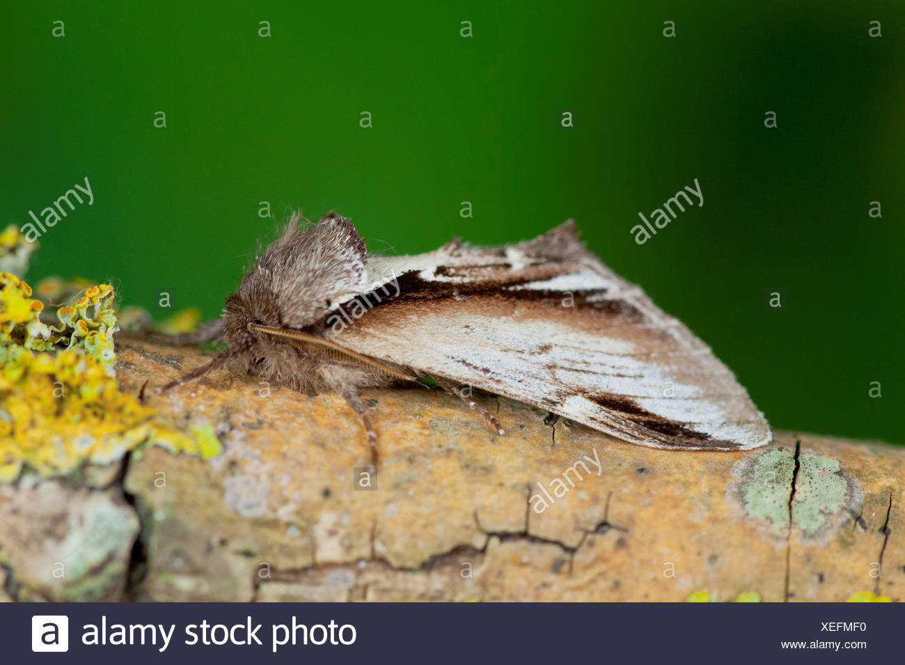 UK Norfolk side view Swallow Prominent Pheosia tremula) - Stock Image
