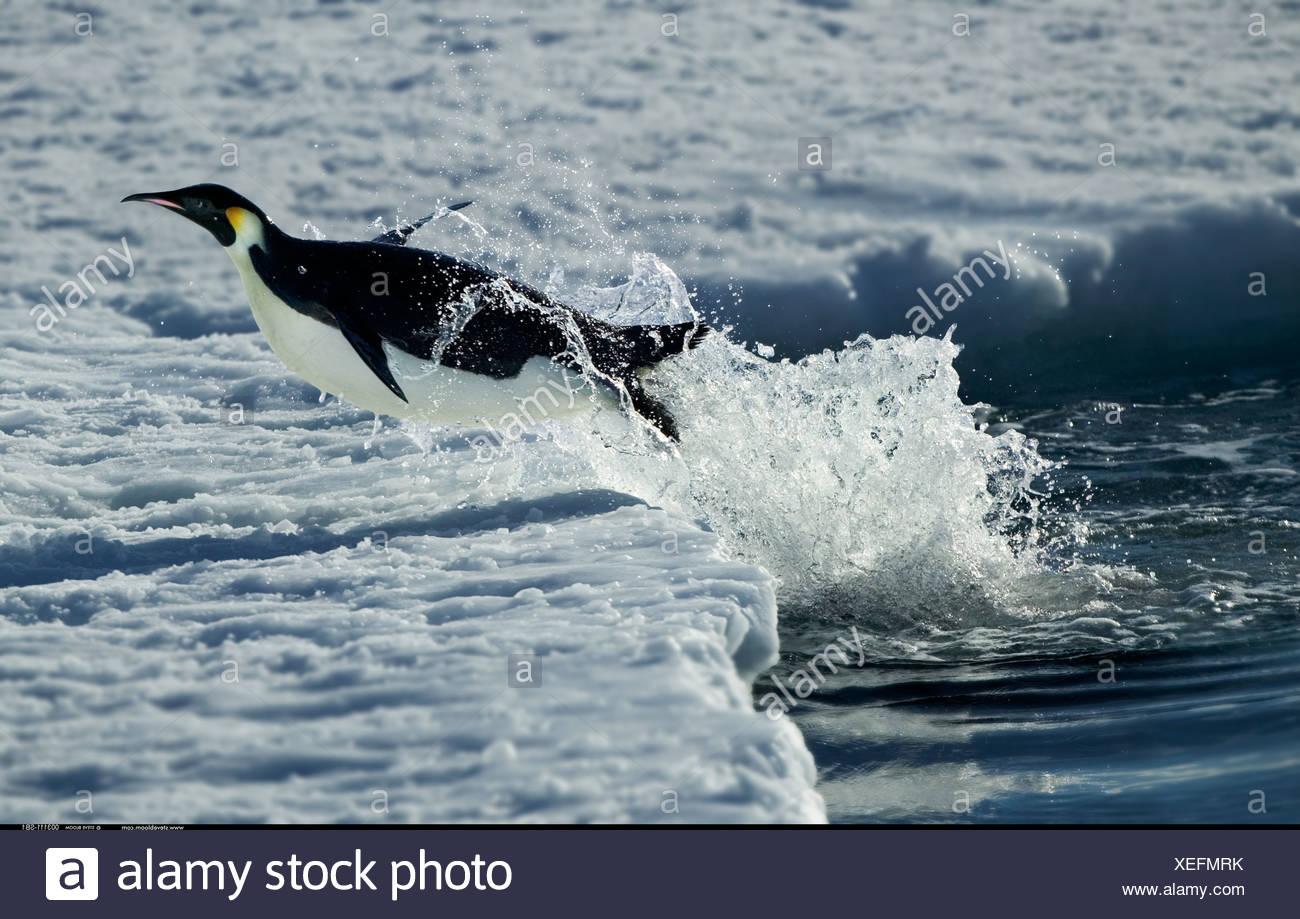 Emperor Penguins Diving