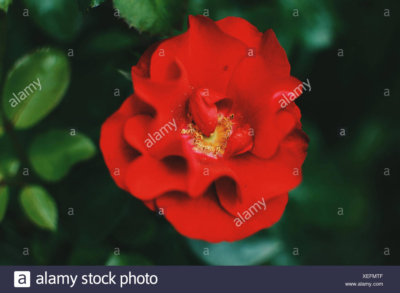 Close-up of red rose - Stock Image