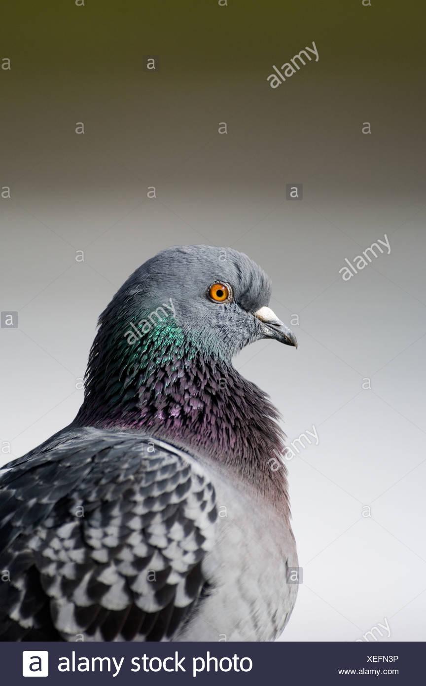 Feral Pigeon Trafalgar Square London - Stock Image