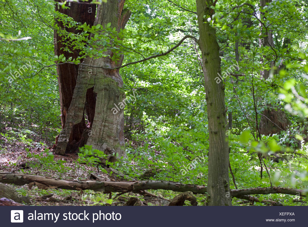 primeval forest with an old dead tree, Germany - Stock Image