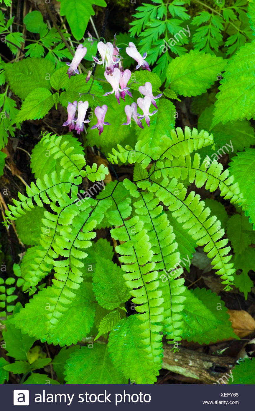 Wild Bleeding-Heart Flowers Above A Northern Maidenhair Fern In The Great Smoky Mountains National Park - Stock Image