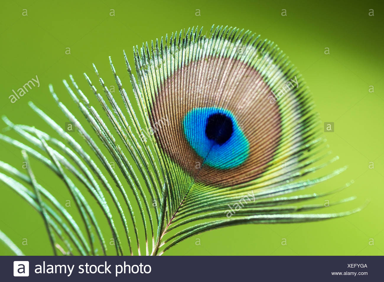 common peafowl (Pavo cristatus), detail of a pinna of a male peacock Stock Photo