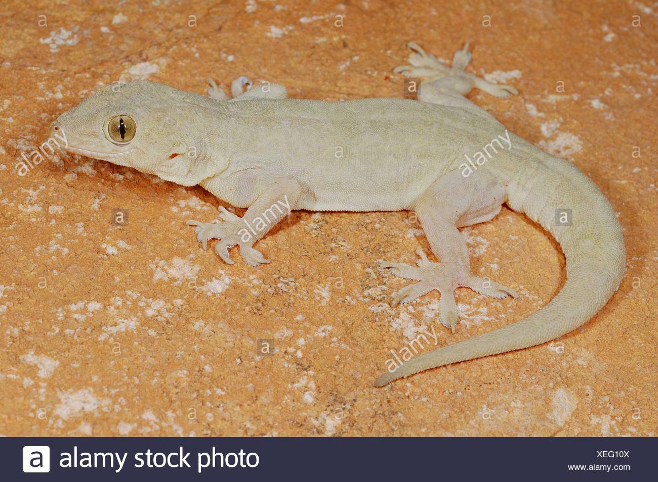 hemidactylus-flaviviridis-gecko-socotra-reptiles-vertebrates-lizard-lizards-reptile-reptiles-animal-animals-gecko-geckos-asia-XEG10X.jpg