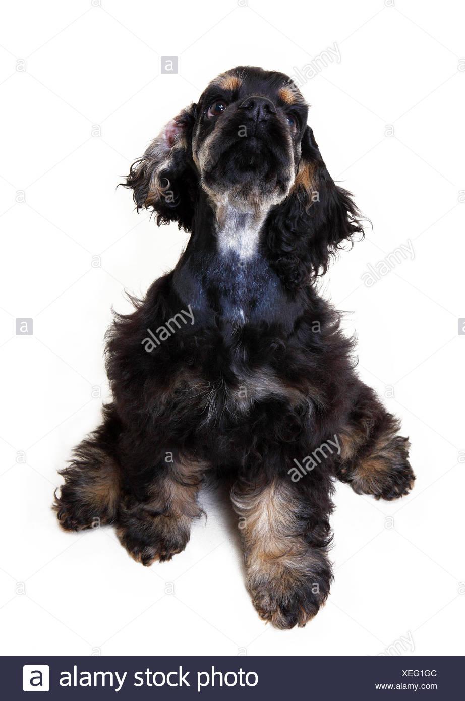 An American cocker spaniel dog - Stock Image