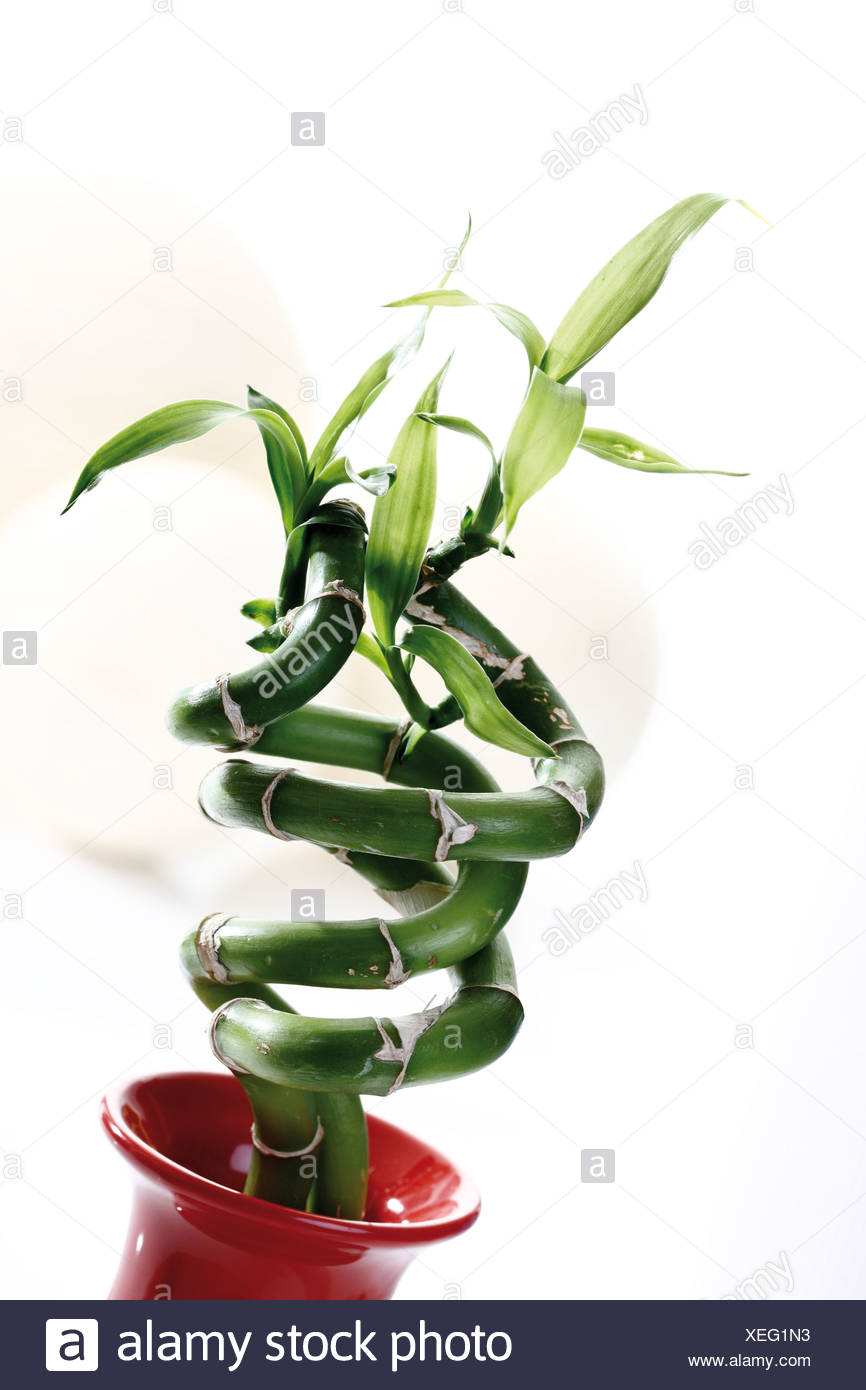 Lucky bamboo in vase - Stock Image