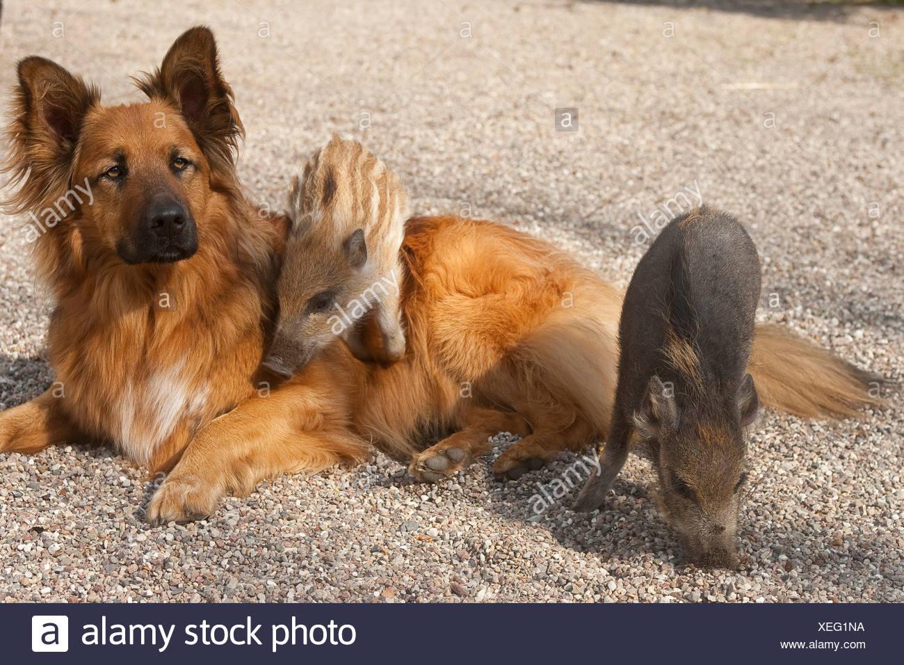 wild boar, pig, wild boar (Sus scrofa), piglets climbing on