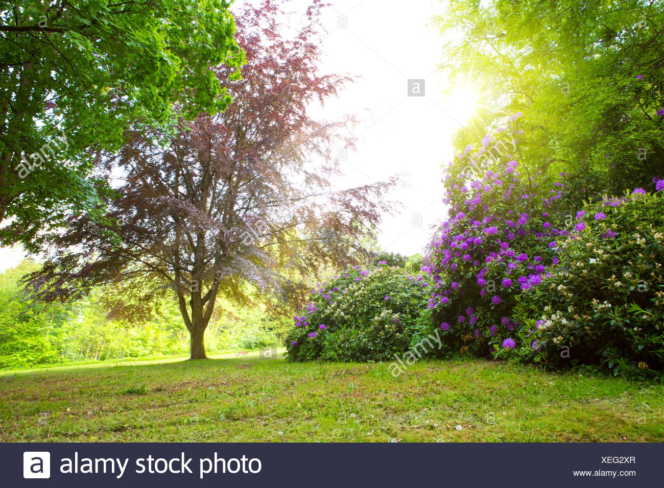 Rhododendron Bushes and sun. - Stock Image