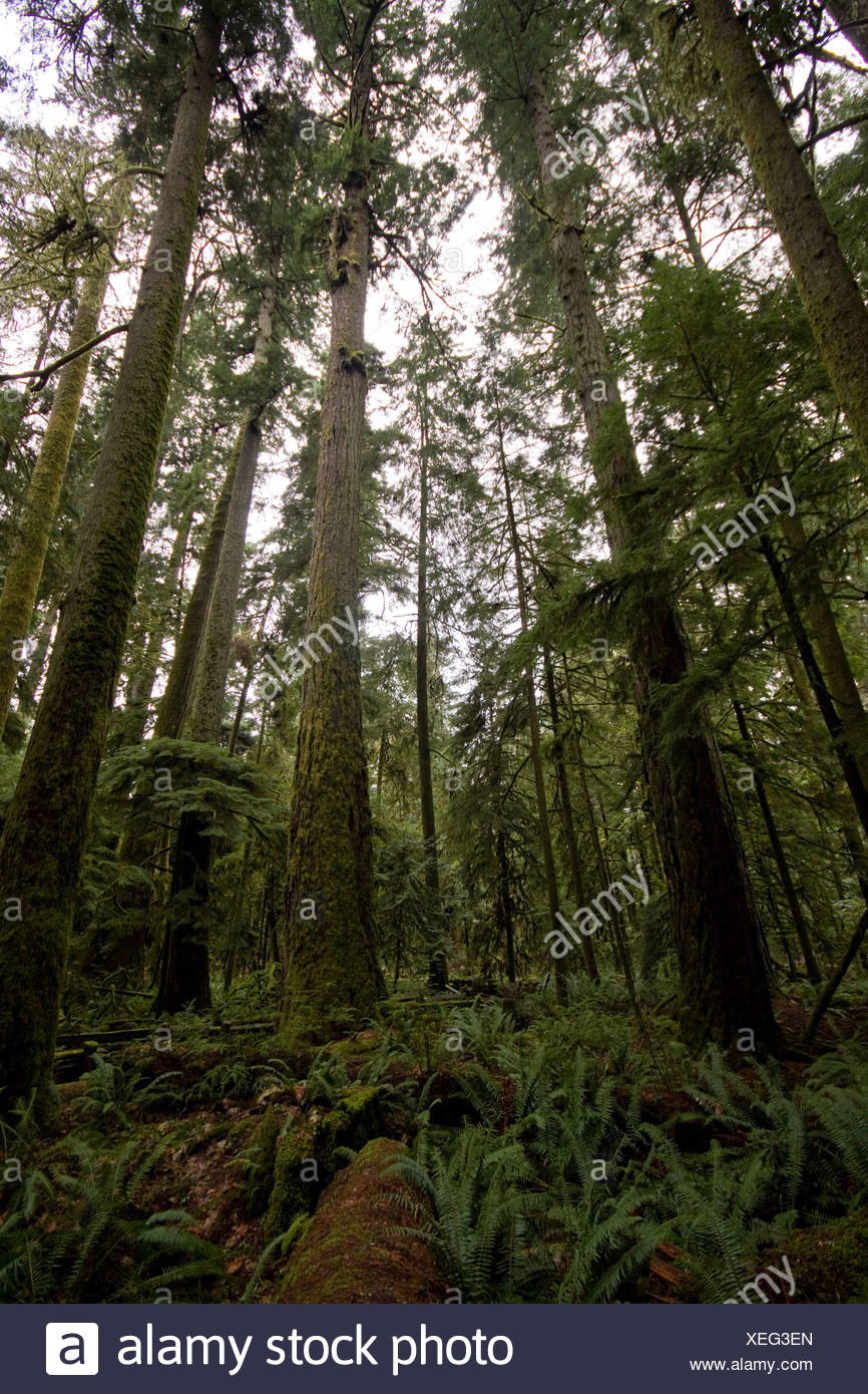 Old growth coniferous forest, Cathedral Grove, Vancouver Island, British Columbia - Stock Image