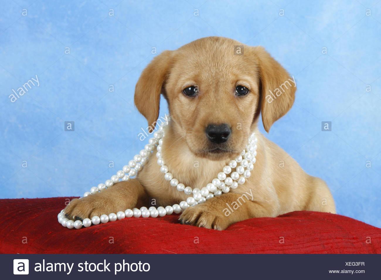 Labrador Retriever Whelp - Stock Image