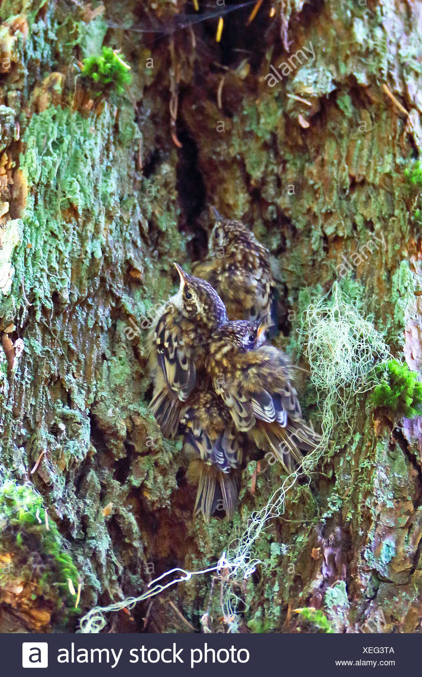 American treecreeper (Certhia americana), four fledglings sit close together at a tree trunk, Canada, British Columbia, Vancouver Island - Stock Image