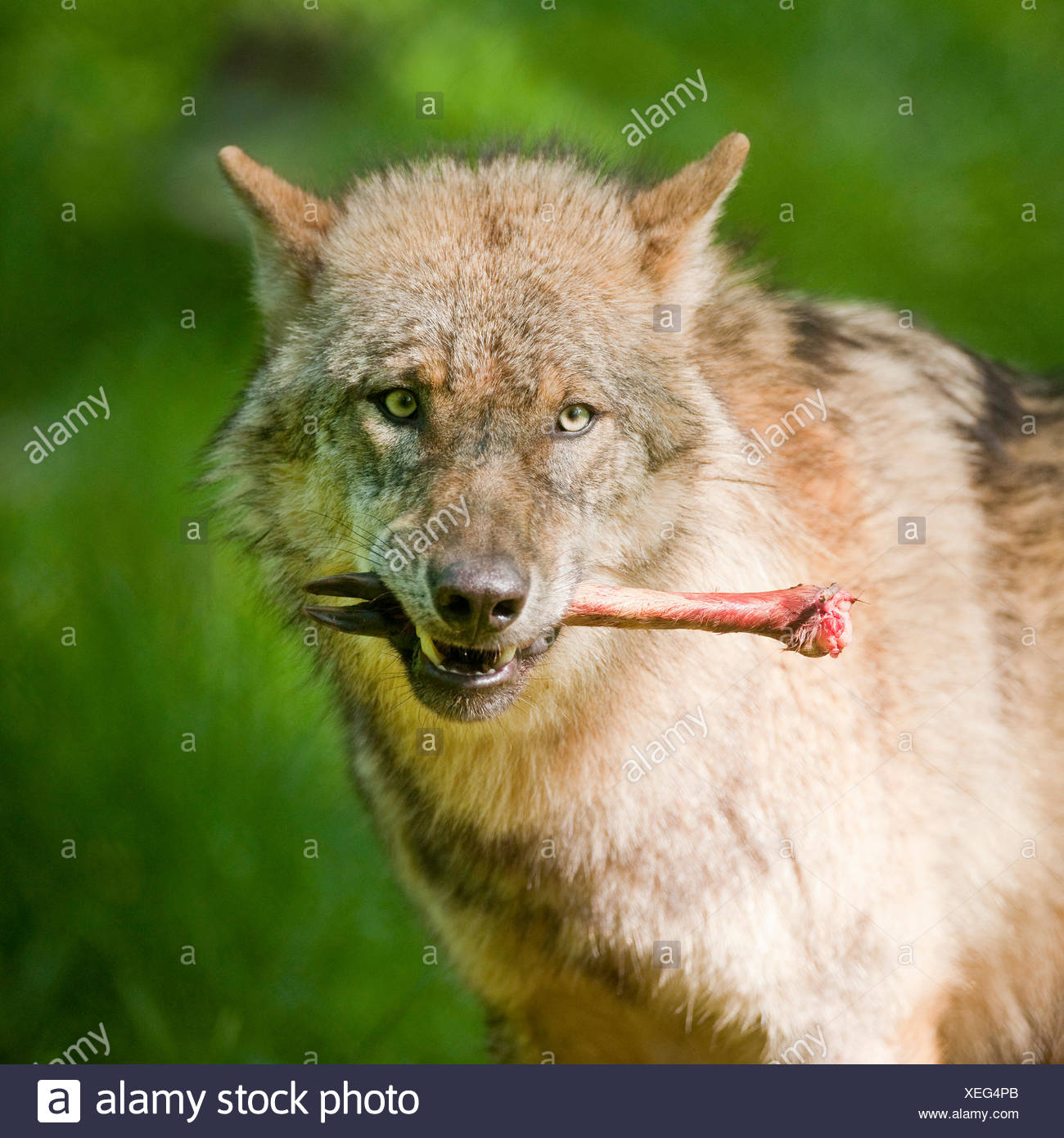 Wolf (Canis lupus), with bone in mouth, captive, Hesse, Germany - Stock Image