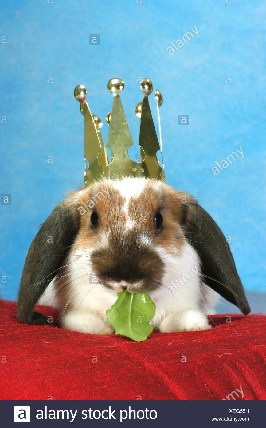 Lop-eared dwarf rabbit with crown, eating a leaf - Stock Image