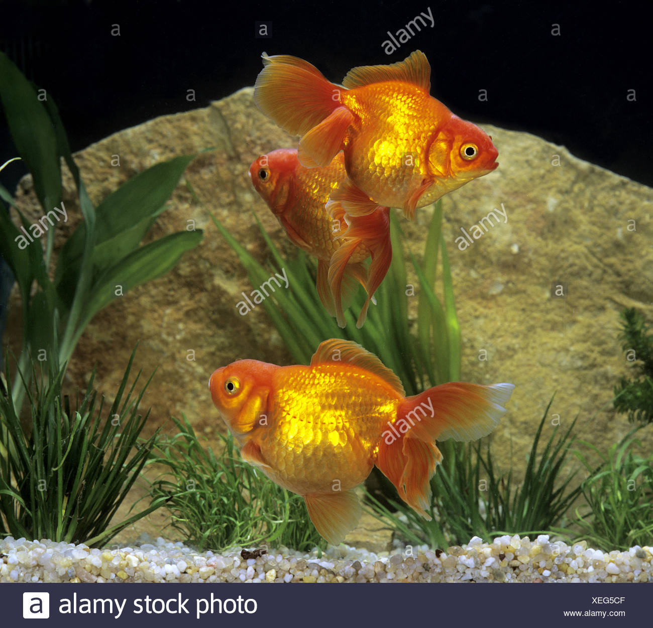 Ryukin Goldfish Carassius Auratus Stock Photo 284326575