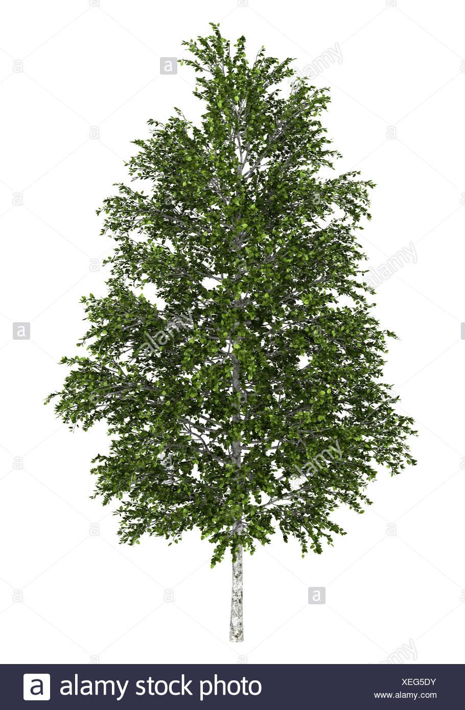 european white birch tree isolated on white - Stock Image