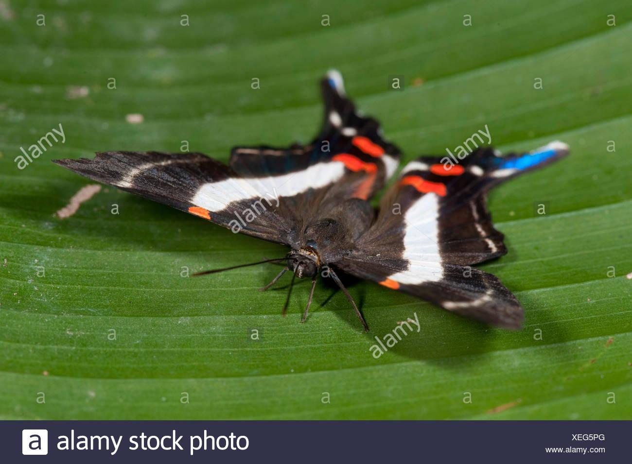 Costa Spotted Metalmark Butterfly Ancyluris j. jurgensenii Panama - Stock Image