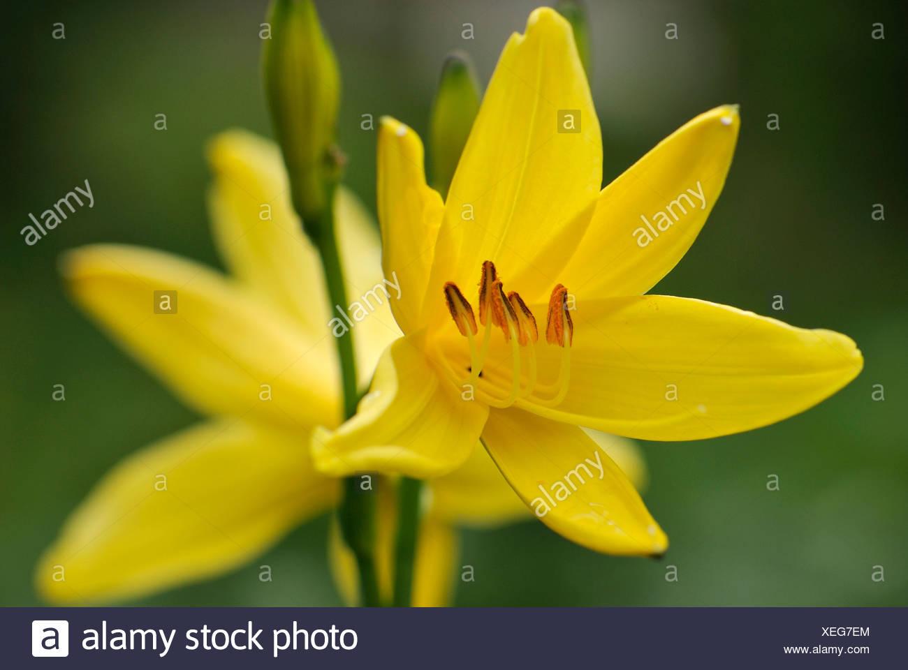 Yellow Day Lilies (Hemerocallis), Fischbachau, Upper Bavaria, Germany, Europe - Stock Image