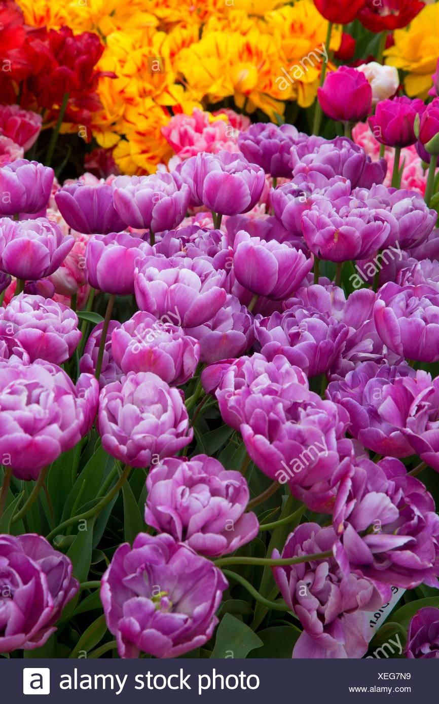 Tulips, Wooden Shoe Bulb Co. , Clackamas County, Oregon. - Stock Image