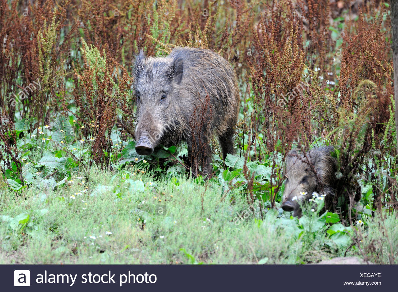 Wild boar, animal, Sus scrofa scrofa, sow, wild boars, black game, pigs, pig, vertebrates, mammals, real pigs, pigs, Germany, Eur - Stock Image
