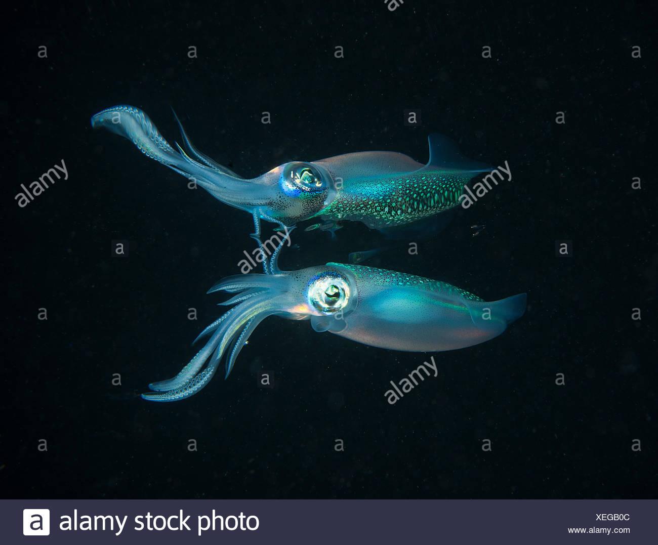 Longfin reefsquid with surface reflexion - Fiji Islands - Stock Image