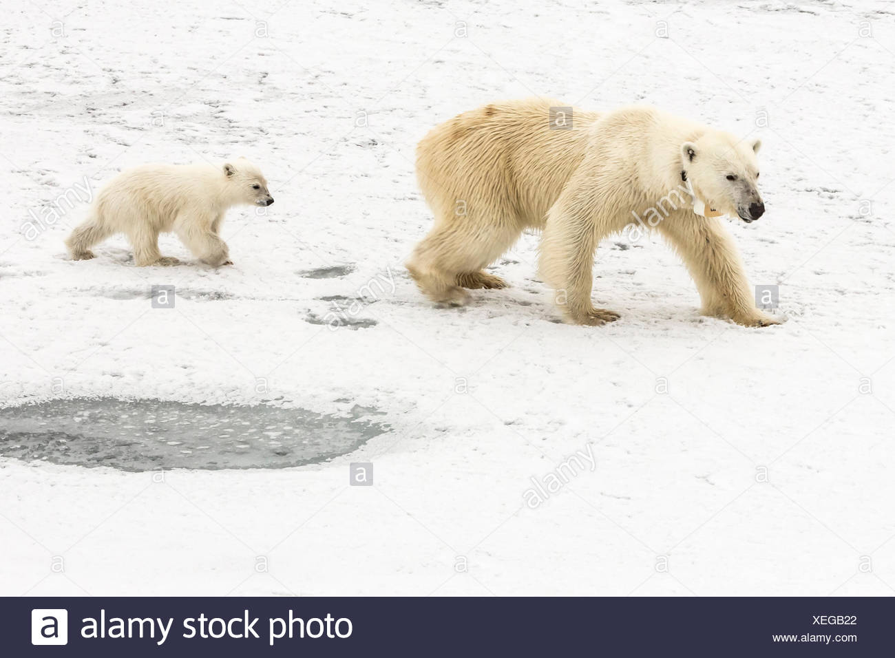 A polar bear, Ursus maritimus, and her cub. The mother bear wears a radio tracking collar. - Stock Image