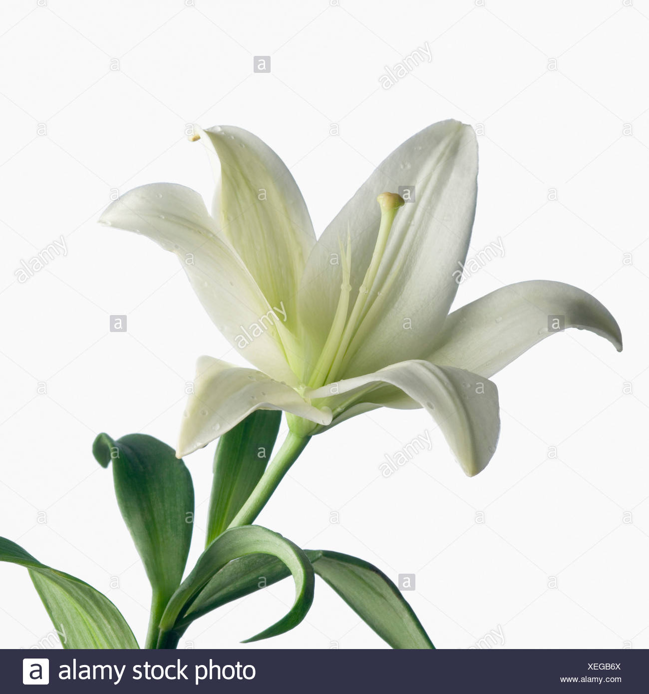 White lily flower cut out stock photos white lily flower cut out close up of a white lily stock image izmirmasajfo