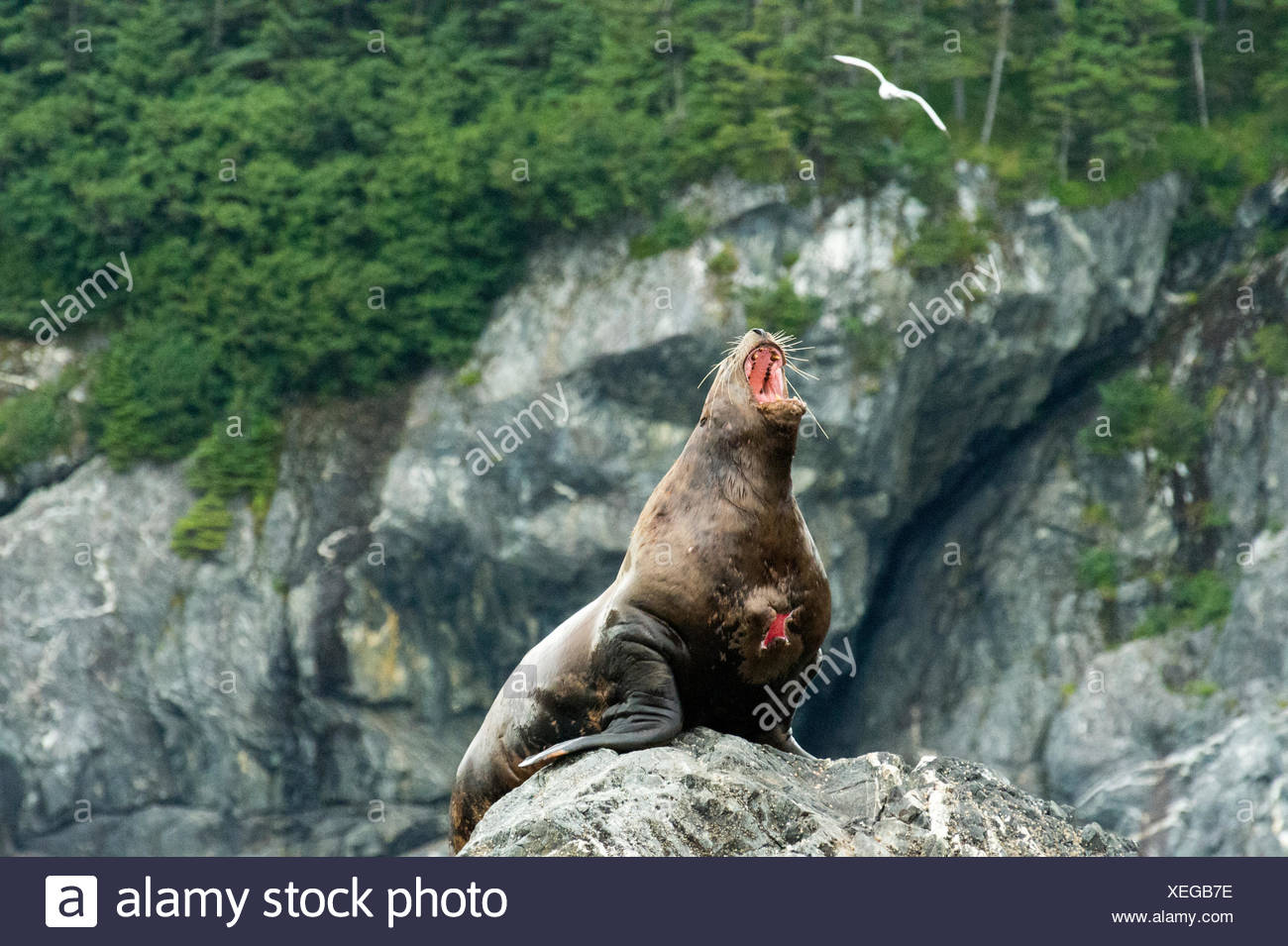 A wounded stellar sea lion (Eumetopias jubatus) barks from his perch on a rocky island. Stock Photo