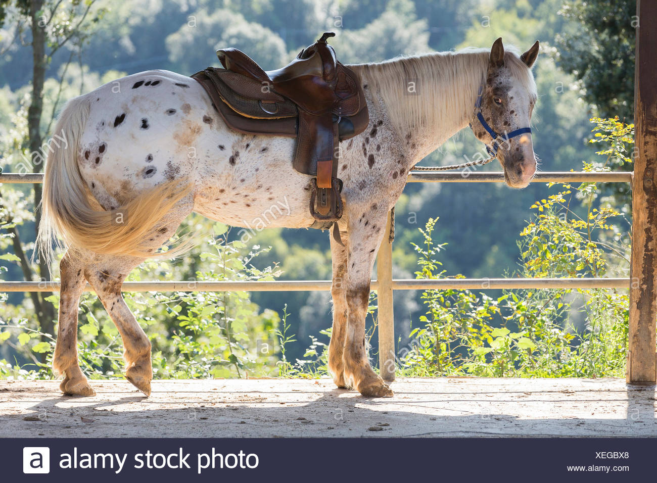 Criollo Leopard-spotted gelding resting the shade Italy - Stock Image