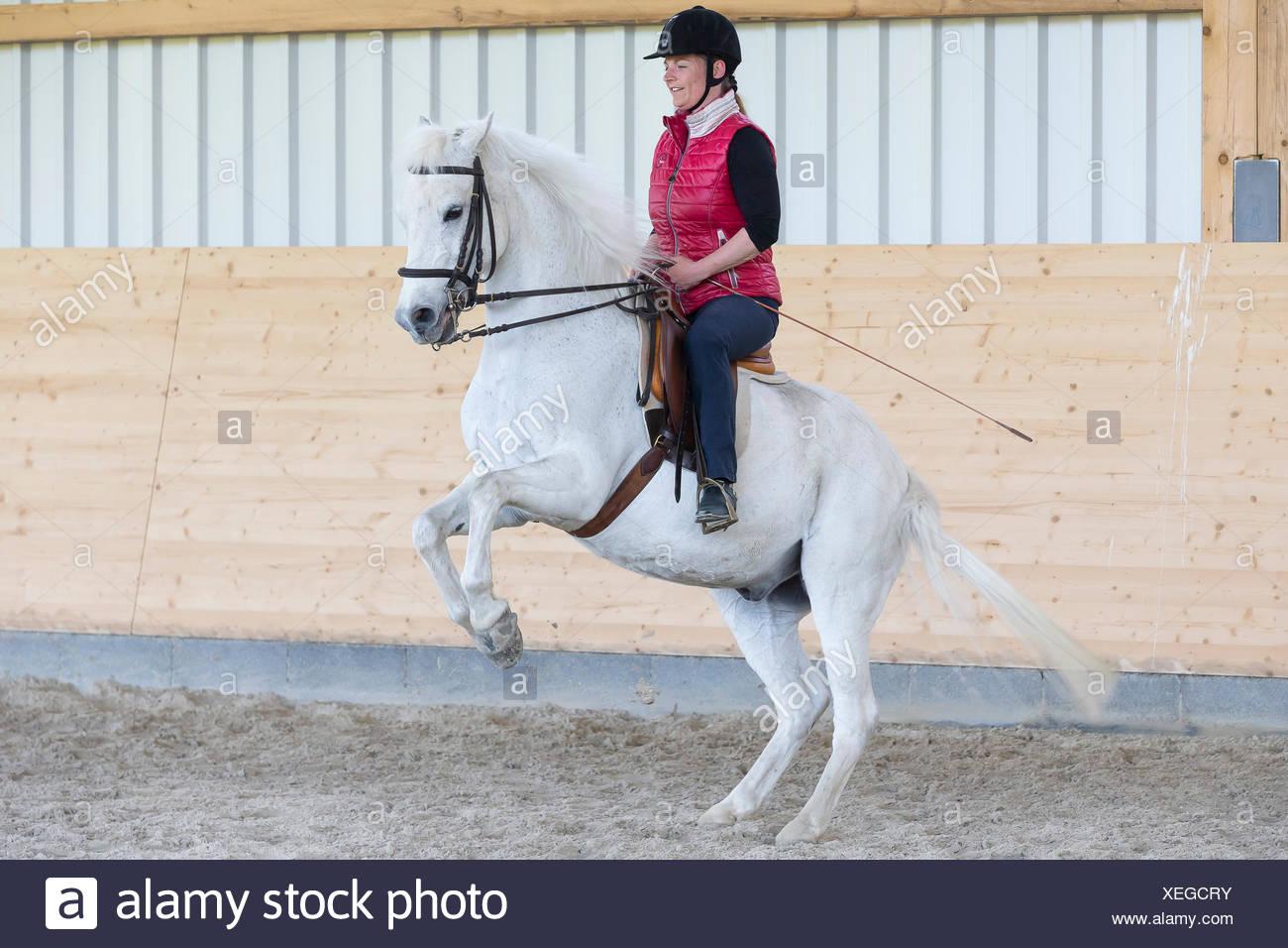 German Riding Pony Rider white pony performing pesade - Stock Image