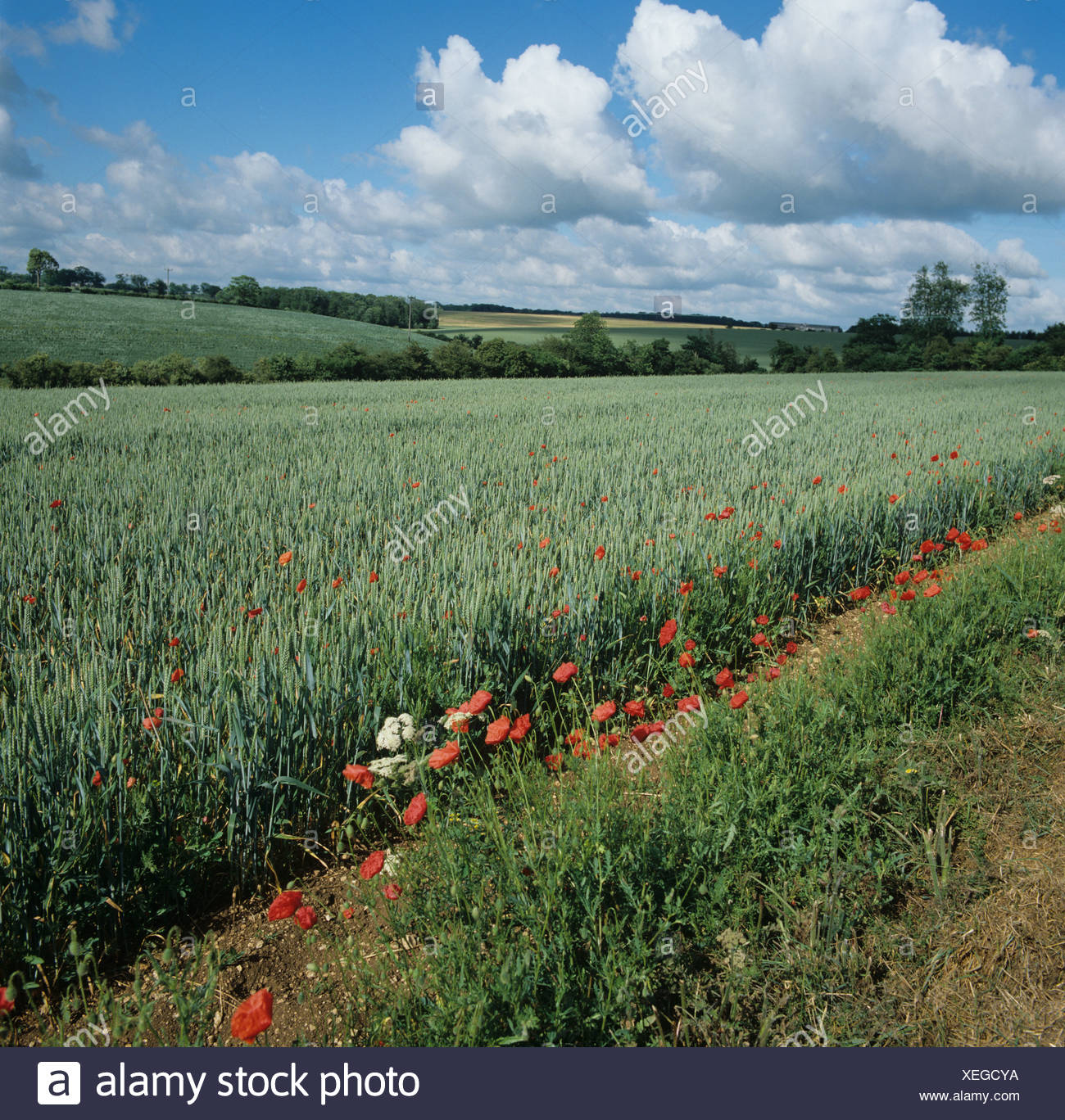Flowering poppies corn poppies and vegetation along field margin of wheat crop in ear - Stock Image
