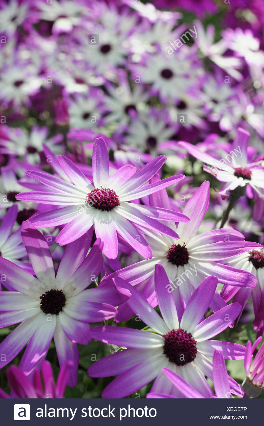 Senetti, Pericallis x hybrida 'Senetti Magenta Bicolor', Close view of 4 white flowers with pink purple tipped petals, others soft focus behind. - Stock Image