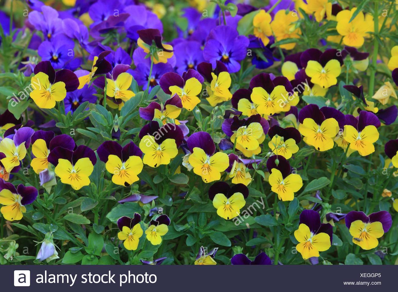 Pansies, - Stock Image