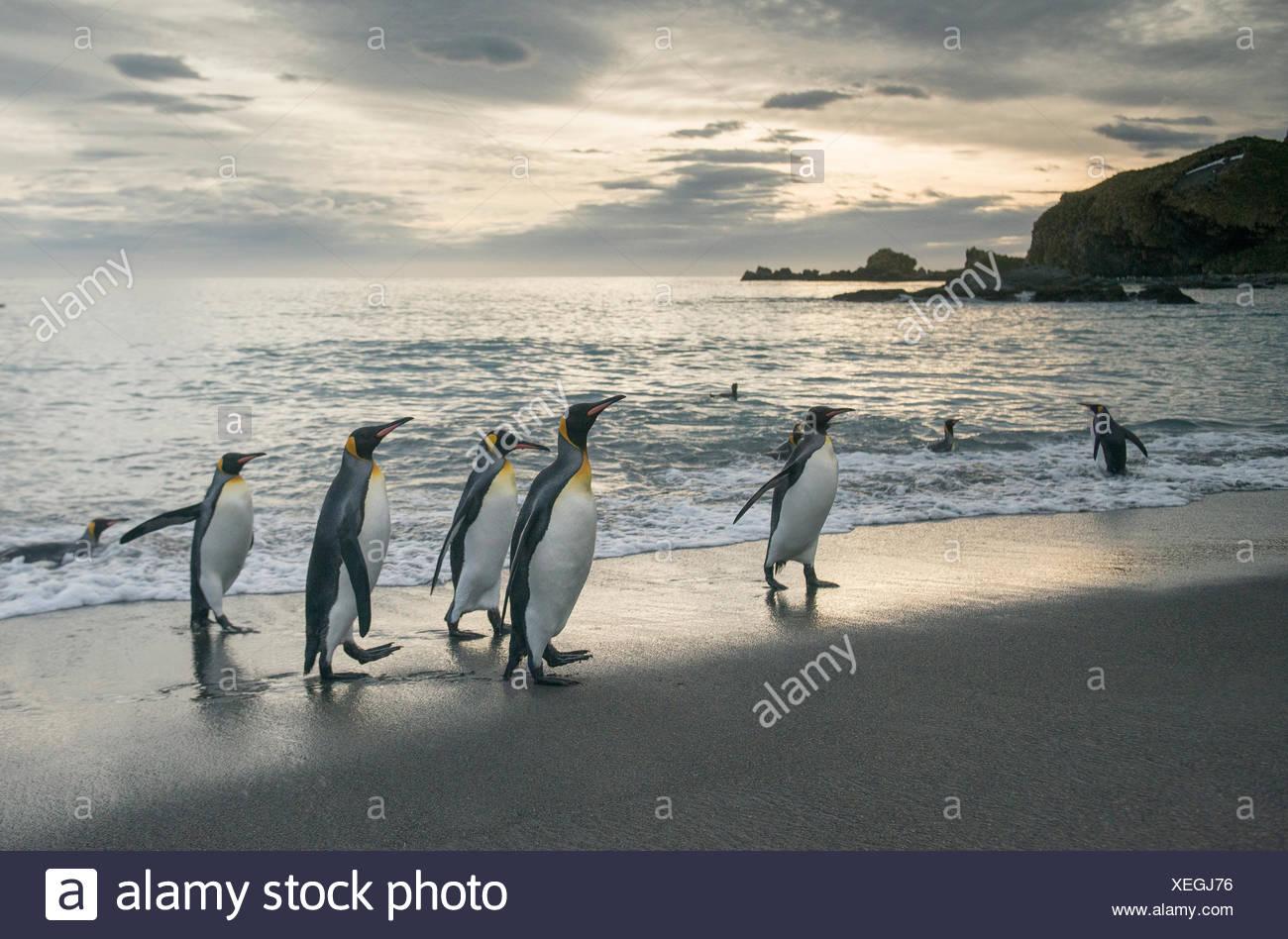 King penguins walk along the shoreline at sunrise at Gold Harbour. - Stock Image